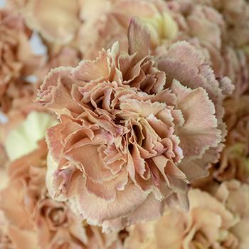 Padi Coral Peach Carnation Flowers Up Close