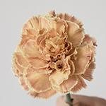 Padi Coral Peach Carnations side stem