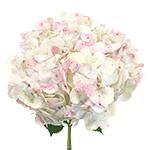 Pale Vintage Hydrangea Flower Stem View