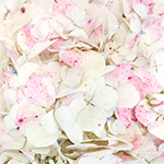 Pale Vintage Hydrangea Flower Up Close