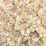 Yellow Bulk Carnation flowers