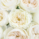 Paper White Garden Roses up close