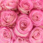 Parisian Pink Bulk Rose Up Close