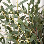 Parvafolia eucaluptus DIY wedding flowers