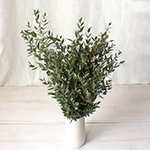 Parvafolia eucaluptus bulk wedding flowers
