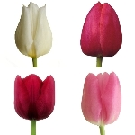 Passion Pack Farm Mix Tulips Wholesale Flower Up close