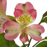Passion Pink alstroemeria Wholesale Flower bloom