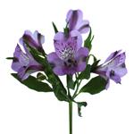 Passion Purple alstroemeria Wholesale Flower Stem