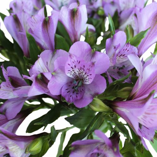 Passion Purple alstroemeria Wholesale Flower Upclose