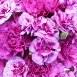 Passionate Purple Wholesale Carnations Up close