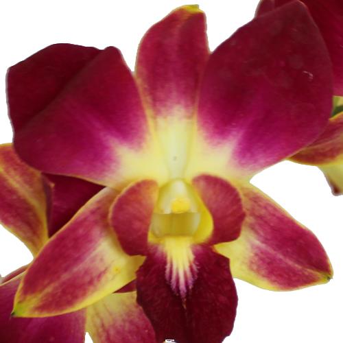 Passionfruit Dendrobium Orchid