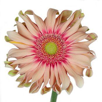 Peach Pinwheel Gerbera Daisy