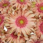 Bulk Hot Pink Gerber Flower