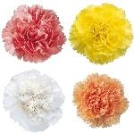 Pastel Farm Mix Wholesale Carnations Up close