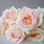 Pastel Perfection Garden Rose Bunch Close Up