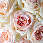 Pastel Perfection Garden Roses up close