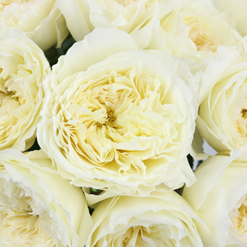 Patience Ivory David Austin Roses up close