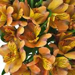 Pea Pod Orange alstroemeria Wholesale Flower Upclose