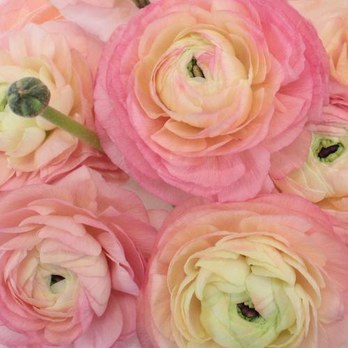 Light Pink Italian Cloony Ranunculus