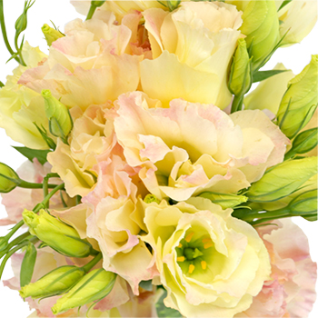 Hues of Apricot Lisianthus Flower for October to May Delivery