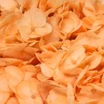Peach Enhanced Hydrangea Wholesale Flower Up close
