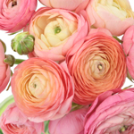 Fresh Ranunculus Orange Flower