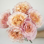 Peach Ruffles Peony Wholesale Rose Bunch in a hand