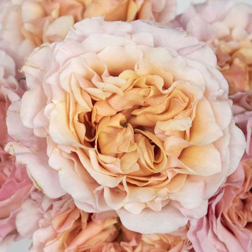 Peach Ruffles Peony Roses up close