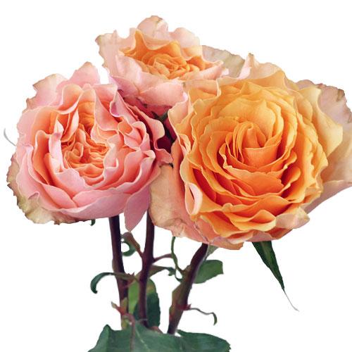 Peach Sherbet Garden Roses up close