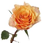 Peach Sherbet Orange Garden Rose Stem