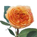 Peachy Cantaloupe Garden Rose Stem