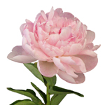 Pecher Blush Pink Peony Side Stem View