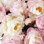 Pecher Blush Pink Peonies up close