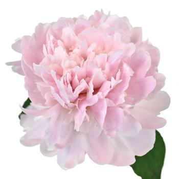 Pecher Blush Pink Peony Stem