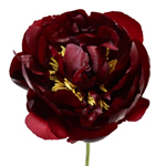 Burgundy Red Peony Flowers June Delivery