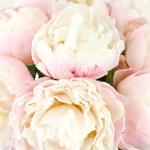 Gardenia Peonies wholesale