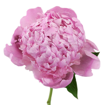 Medium Pink Peonies for July