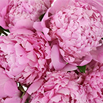 Peonies_Burgundy_Flowers