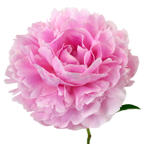 Sarah B Pink Peony Flowers July Delivery