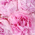 Mother's Day pink peony bulk flowers