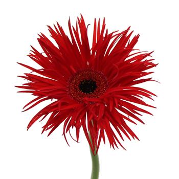 Crimson Spider Gerbera Flower