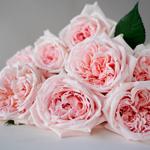 Perfect Pink Garden Rose Bunch Close up