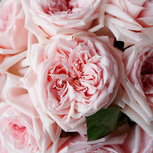 Perfect Pink Garden Roses up close