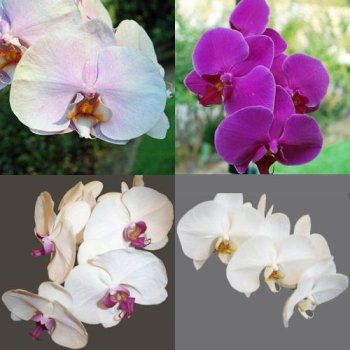 Choose Your Own Phalaenopsis Orchids