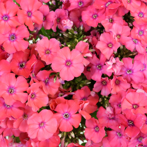 Phlox Hot Pink Flower