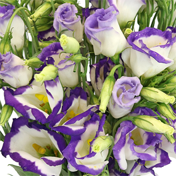 Purple Tipped Single Lisianthus Flower for October to May Delivery