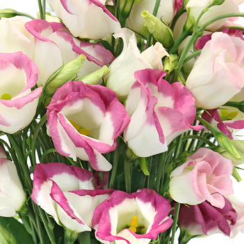 Pink Tipped Single Lisianthus Flower