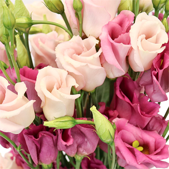 Hues of Pink Single Lisianthus Flower