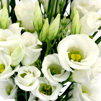 White Single Lisianthus Flower