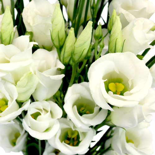 White Single Lisianthus Flower for June to September Delivery